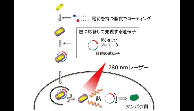 遺伝子の機能解析に有用な技術を確立、京都大学が発表