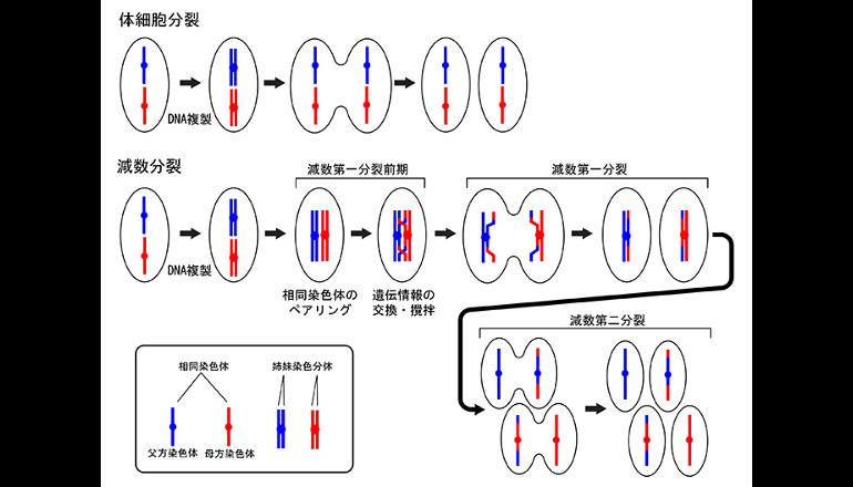 高次染色体構造の解体スイッチが明らかに