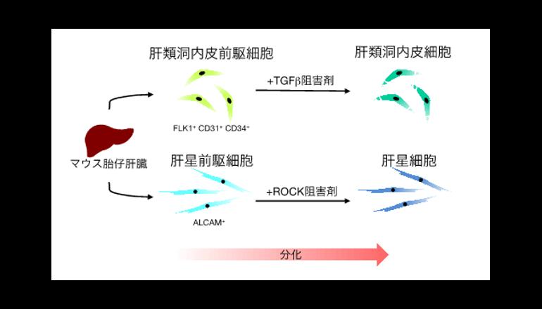 東大、ヒトの肝臓細胞を再現 iPSからモデル開発
