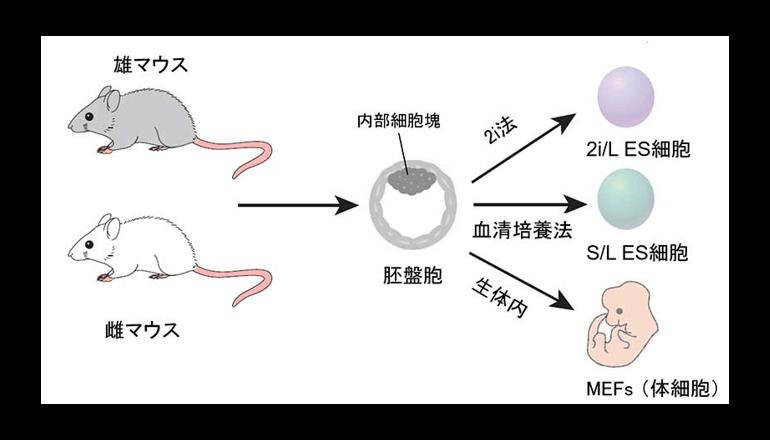京大、高品質ES細胞を効率よく作製する方法を確立