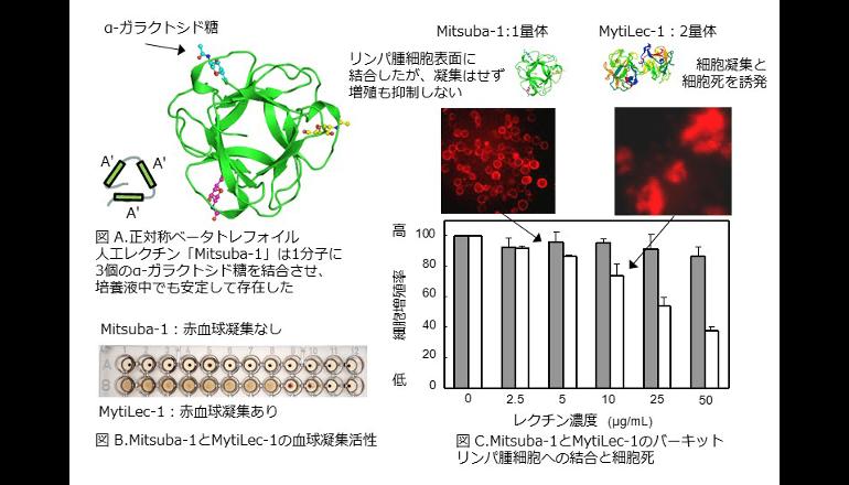 リンパ腫細胞の糖鎖に結合するタンパク質をコンピュータ設計