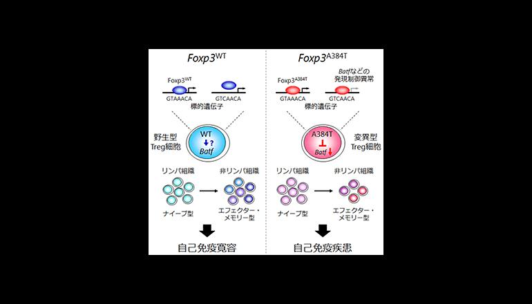理研と東大、制御性T細胞の新しい免疫抑制メカニズムを発見