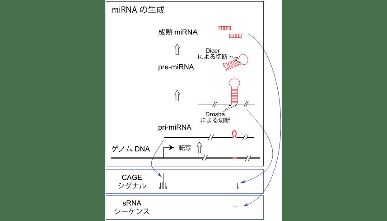 理研、マイクロRNAのより詳細な地図化に成功