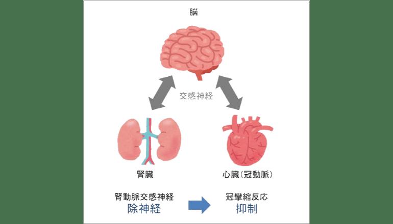 「腎―脳―心臓」の臓器連関を世界で初めて証明