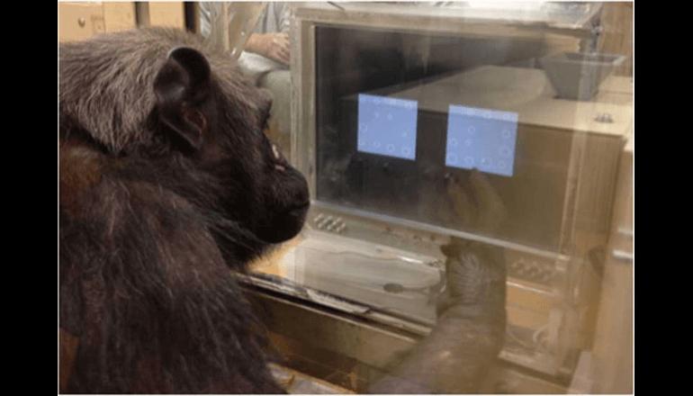 チンパンジーも物体の大きさの「平均」を理解している