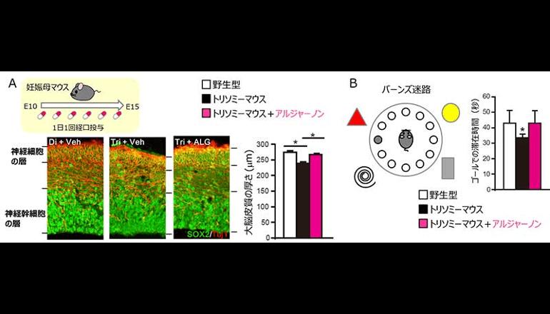 神経細胞を正常に増やせる、化合物を発見!
