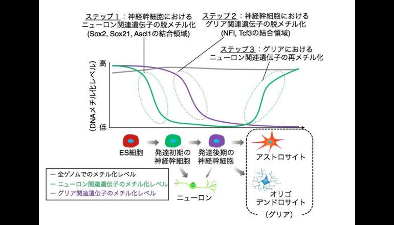脳の神経幹細胞、性質変化のしくみが明らかに!
