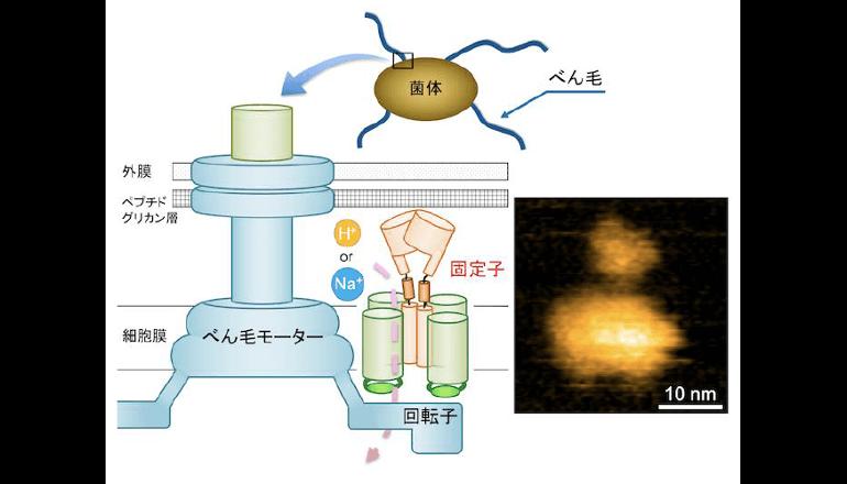べん毛モーターの回転機構の解明への第一歩、大阪大学が成功