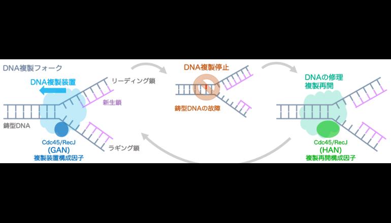 生命の謎に迫る、遺伝子複製を進めるタンパク質の機能あきらかに