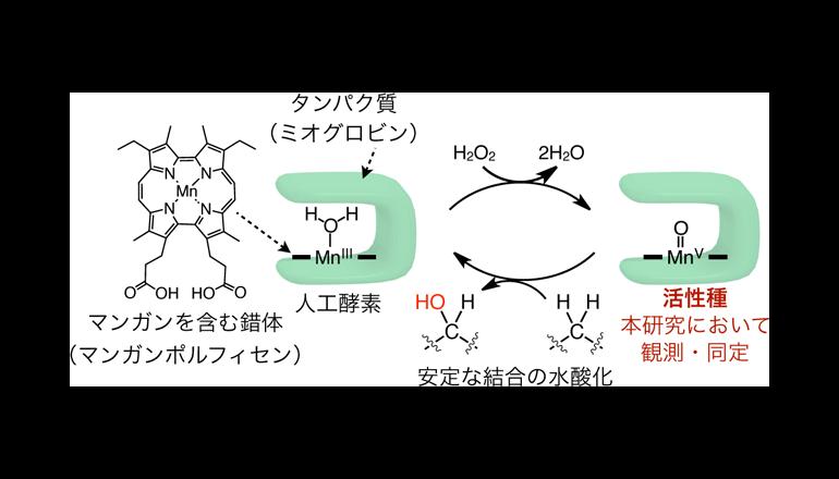 天然炭素資源の有効利用に役立つ、人工酵素の活性メカニズムを解明
