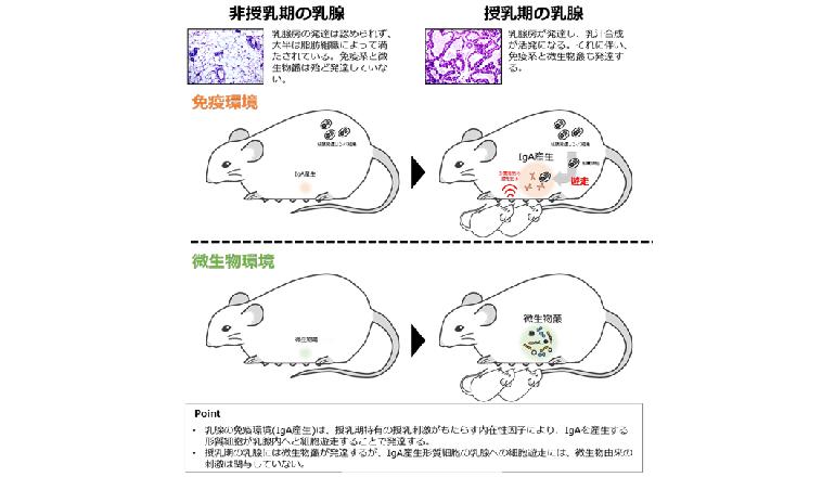 授乳期の乳腺に免疫・微生物環境が発達する仕組みが