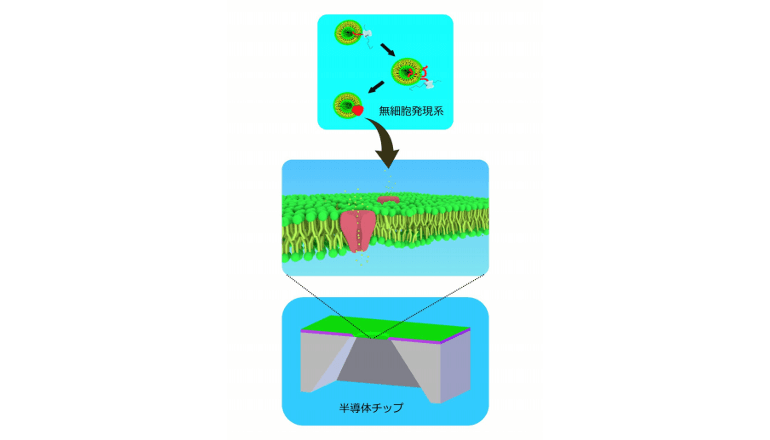 細胞フリーの合成膜タンパクで薬物感受性の記録に成功、世界初!