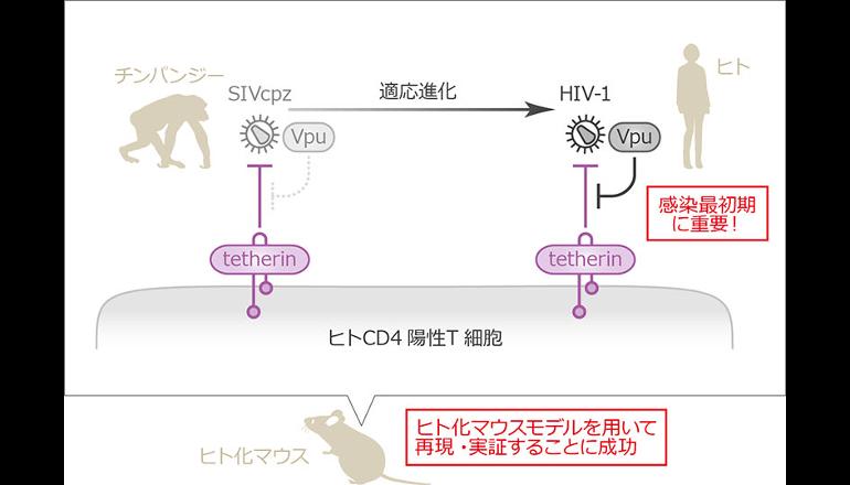 HIV-1と内因性免疫対立、分子メカニズムの一端が明らかに