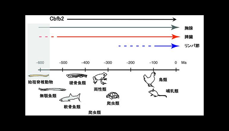 理研、免疫組織発生の進化過程を解明
