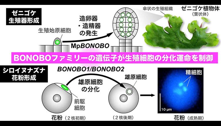 花粉の精細胞をつくる仕組みは花の咲かないコケ植物が起源