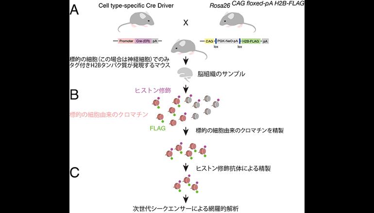 細胞の多様性を支えるしくみ、ヒストン修飾を知る新手法を開発!