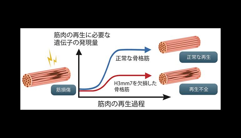 筋肉の再生を促進させるスイッチを発見