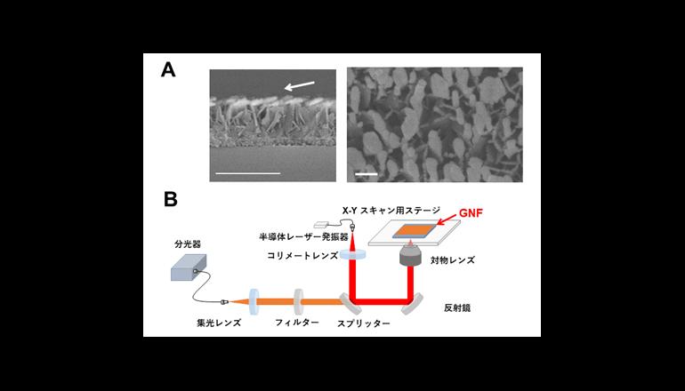 金ナノ粒子を用いた光イメージング技術でがんの生存戦略を明らかに