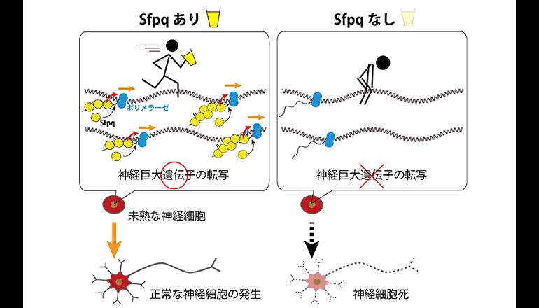 巨大な遺伝暗号の読み出しを制御するメカニズムを発見