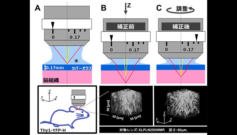 脳科学研究における深部観察を最適化できる顕微鏡を開発