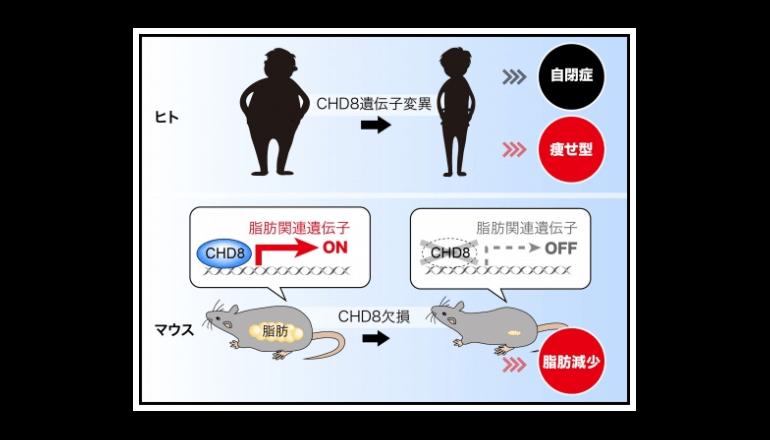 自閉症の原因たんぱく質が肥満症を防ぐ、メカニズムを解明!