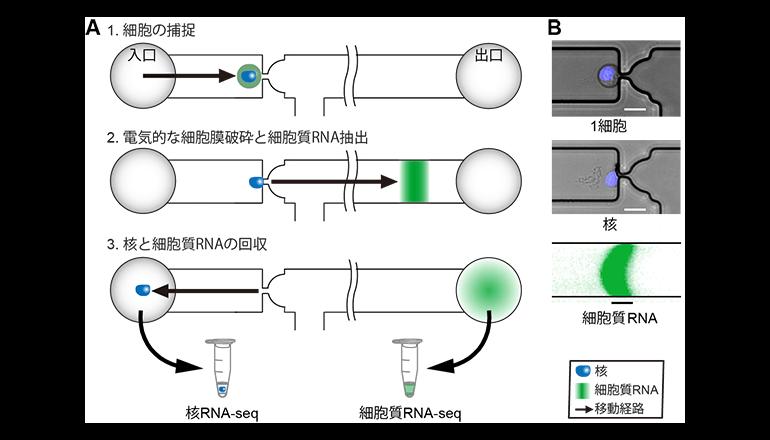 一つの細胞を核と細胞質に分けて解析する、新技法を開発