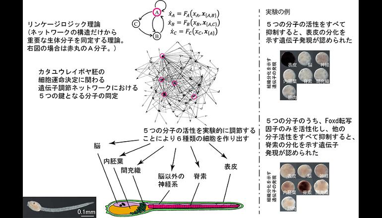 相関を解く数理と実験によって、遺伝子ネットワークの制御に成功!