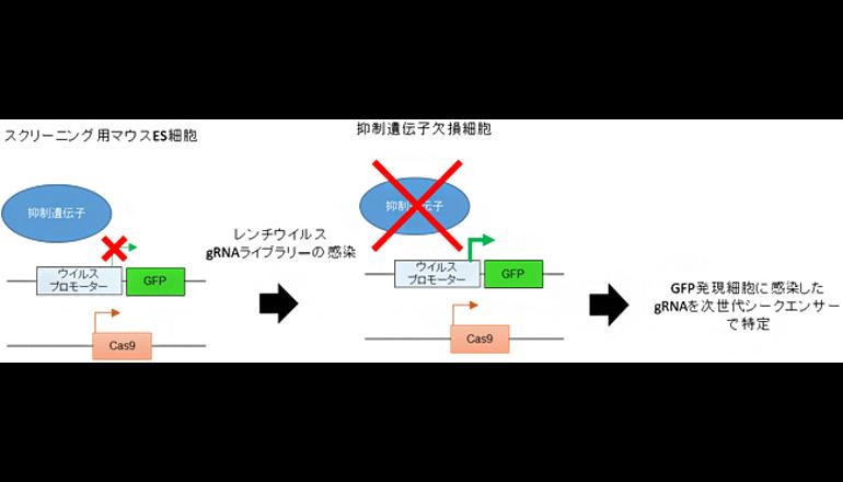 ゲノム中のウイルスを抑制する仕組みを解明、理研