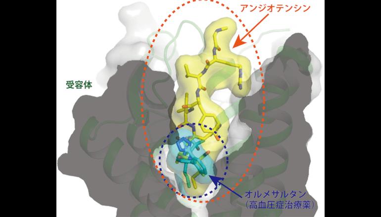 血圧を調節するホルモン受容体の結晶構造が原子レベルで明らかに