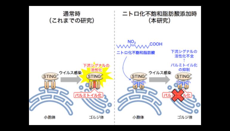 ニトロ化不飽和脂肪酸による自然免疫応答の制御機構を解明