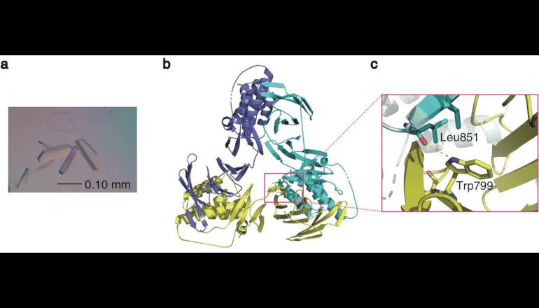 染色体の構造変換を司るタンパク質の構造を解明、東北大学