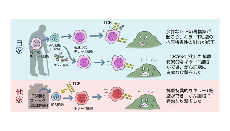 がんの免疫療法が一歩前進、ヒトiPS細胞から再生キラーT細胞の作製に成功