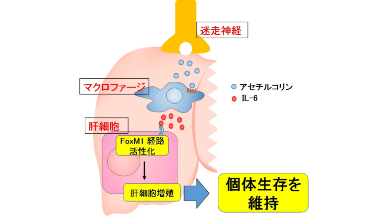 神経細胞が肝臓内の免疫細胞を刺激、再生を促すことが明らかに