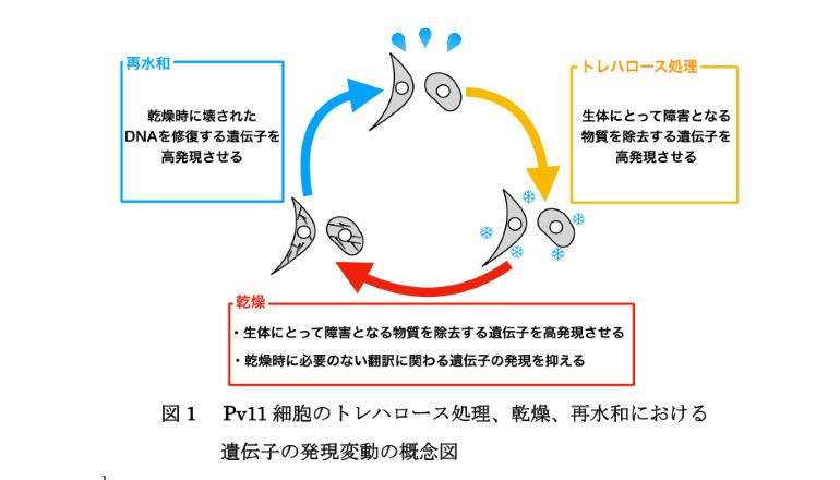 乾燥しても死なない細胞のメカニズムを検証、慶応大学ら