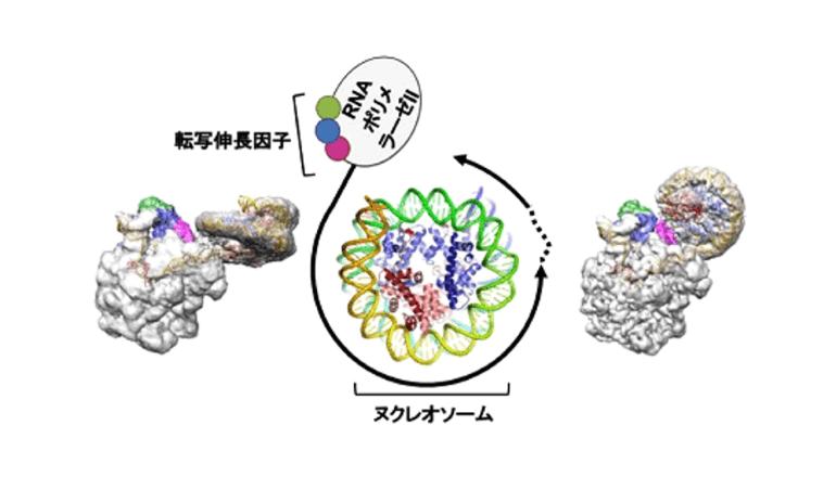 世界初!細胞核内に畳まれているDNAを円滑転写するしくみを解明