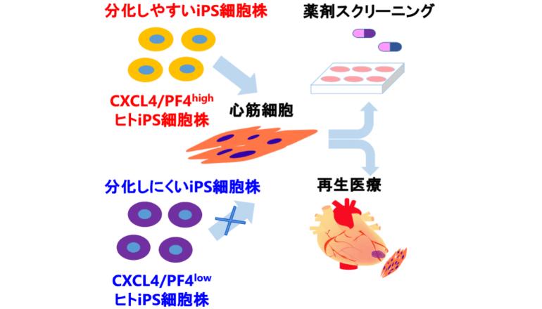 心筋細胞に分化しやすいヒトiPS細胞、そのマーカー遺伝子を同定