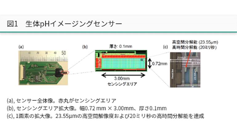 脳内phを超高解像度でリアルタイム観察、薄型CMOSセンサで実現