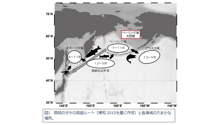 日本で生まれた鮭が北太平洋を大回遊する、そのわけと目的地は――