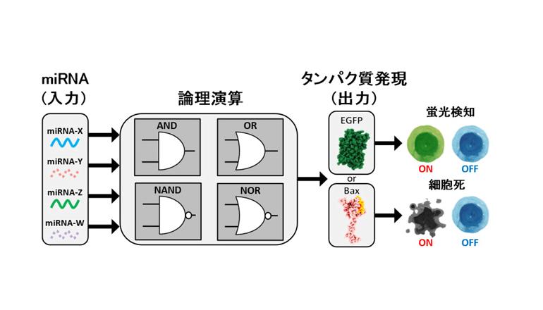人工RNA論理回路で細胞の運命を制御する、京都大学