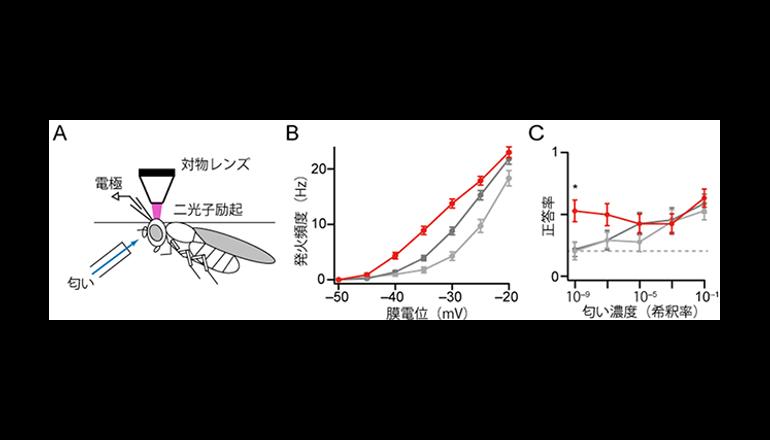 理研、匂いの素早い検出と濃度の弁別に優れた細胞タイプを発見